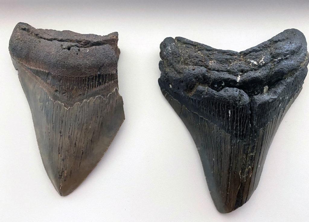 Photo of large megalondon teeth.